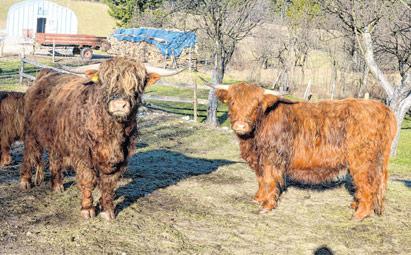 Škotska goveda se udomaćila
